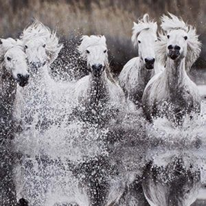 camarague horses